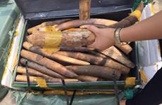 Hơn 15 tấn ngà voi tịch thu tại cảng chưa xác định được chủ hàng