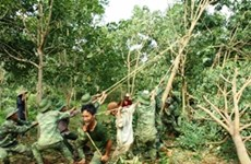 Đã có lời giải gỡ khó cho cây cao su miền Trung