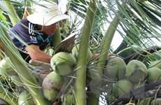 Kỷ nguyên dầu cọ kết thúc, liệu có khủng hoảng cây dừa?