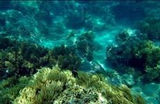 Gần 1 tỷ đồng tái tạo rạn san hô vùng biển Khánh Hòa
