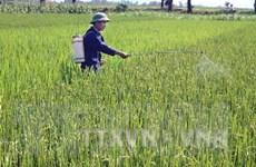 Hơn 9.500ha lúa Đông Xuân tại Cần Thơ bị sâu bệnh