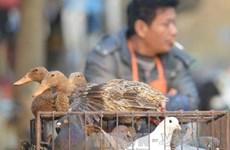 Hong Kong: Thêm 1 ca tử vong vì nhiễm virus cúm H7N9
