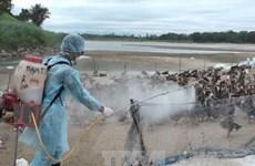 Dịch cúm gia cầm đang có khả năng tiếp tục lan rộng