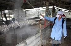 Hải Dương chính thức công bố dịch cúm gia cầm H5N1