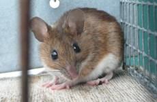 Phòng thí nghiệm Nhật suýt để sổng chuột biến đổi gen