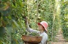 200 nông dân trồng tiêu nhận chứng nhận Rainforest Allian