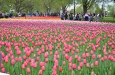 [Photo] Lễ hội hoa Tulip Ottawa làm say lòng du khách