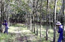 Nông dân trồng cao su Phú Yên lo lắng vì giá mủ giảm mạnh