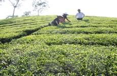 Phú Thọ: Sản lượng chè tăng, nông dân vẫn thất thu vì giá thấp