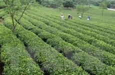 Lai Châu đặt mục tiêu trồng mới 1.000ha chè chất lượng cao