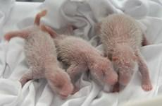 Kỳ diệu khi lần đầu tiên gấu trúc sinh ba và đều còn sống sót