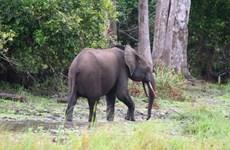 Hà Tĩnh: Đàn voi rừng xâm hại rừng trồng tại huyện Hương Sơn