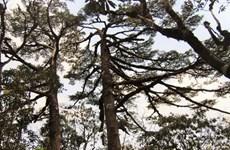 Hai quần thể cây quý ở Vườn quốc gia Hoàng Liên thành cây di sản