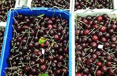 Australia tăng quản lý an toàn sinh học cherry mở rộng xuất khẩu
