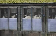 Ổ cúm gia cầm ở Anh có thể liên quan tới ổ dịch ở Hà Lan, Đức
