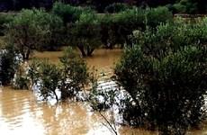 Ngành sản xuất dầu ôliu của Italy thiệt hại nặng vì thời tiết xấu
