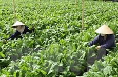 Nhiều loại rau củ đặc sản của Đà Lạt tăng giá mạnh dịp cuối năm