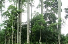 Thái Nguyên bảo tồn quần thể chò chỉ cổ thụ hàng trăm năm tuổi