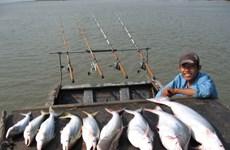 An Giang: Cá bông lau đầu mùa có giá tới 300.000 đồng mỗi kg