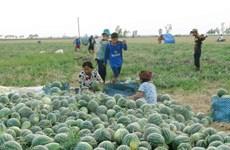 Đa dạng các giải pháp hỗ trợ nông dân tiêu thụ dưa hấu