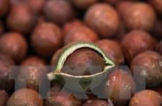Đắk Lắk khuyến cáo người dân không mở rộng diện tích cây mắcca
