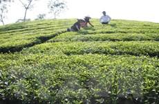 Không có dư lượng thuốc bảo vệ thực vật trên chè Phú Thọ