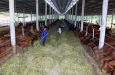 Hà Nội: Gần 2.000 tỷ đồng giá trị gia tăng từ dự án nuôi bò BBB