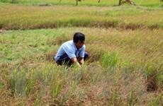 Tiền Giang mất trắng gần 1.000ha lúa do hạn mặn xâm nhập
