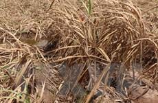 Nguy cơ thiếu hụt trầm trọng nguyên liệu sản xuất vì hạn, mặn