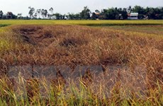Gần 8.000ha lúa Đông Xuân ở Quảng Bình bị sâu bệnh phá hại