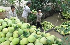 Nông dân Tiền Giang lãi hơn 200 triệu đồng cho mỗi ha bưởi da xanh