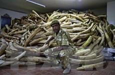 Mỹ chính thức cấm xuất nhập khẩu và buôn bán ngà voi châu Phi