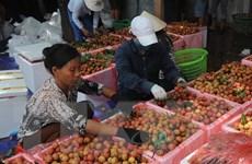 Các lô hàng vải tươi xuất sang Australia được xử lý ở Hà Nội