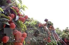 Mọng thơm trái vải thiều đặc sản Bát Trang đất Hải Phòng