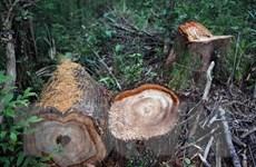 Quảng Nam: Ba đối tượng tham gia phá rừng pơmu ra đầu thú