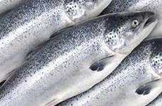 [Video] Thực hư về thông tin trong cá hồi nuôi có chứa độc tố