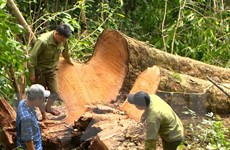 Gia Lai: Lâm tặc táo tợn cướp lại 3 xe gỗ từ lực lượng biên phòng