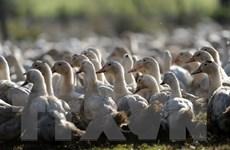 Áo phát hiện xác một số vịt hoang dã nhiễm virus cúm gia cầm