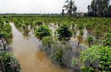 Mai ngập nước và nở sớm, các nhà vườn thất thu hàng tỷ đồng
