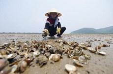 Ngao chết hàng loạt ở Thanh Hóa không phải do dịch bệnh