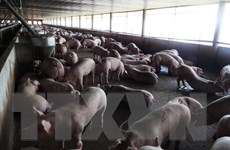 Năm 2017 quyết chấm dứt tình trạng dùng chất cấm trong chăn nuôi