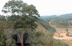 Cây Lim xanh nghìn năm ở Yên Thế trở thành Cây di sản Việt Nam