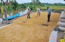 Nông dân Bạc Liêu lãi hàng chục triệu đồng mỗi ha lúa Đông Xuân