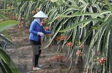 Cung không đủ cầu, thanh long trái vụ tăng giá mạnh tại Bình Thuận