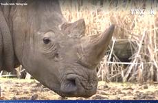 [Video] Tê giác quý hiếm bị bắn chết, cưa sừng ngay trong sở thú
