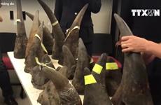 [Video] Thu giữ hơn 100kg sừng tê giác từ Kenya lọt vào Việt Nam