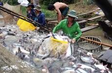 Vừa mừng vừa lo khi xuất khẩu cá tra sang Trung Quốc tăng mạnh