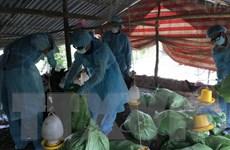 Tiếp tục xuất hiện thêm ổ dịch cúm gia cầm mới ở thành phố Cần Thơ