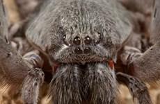 Phát hiện loài nhện độc khổng lồ 8 mắt cực hiếm ở Mexico