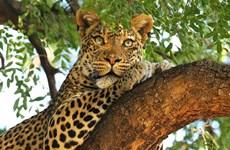 Loài báo Leopard có thể biến mất tại Nam Phi trong vài năm tới
